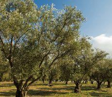 مدير مكتب الزيتون في وزارة الزراعة يدعو إلى عدم قطع الأشجار المتضررة لأنها قادرة على التجديد