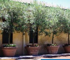 توجه لزراعة الزيتون القزمي في طرطوس .. والزراعة تحذر!